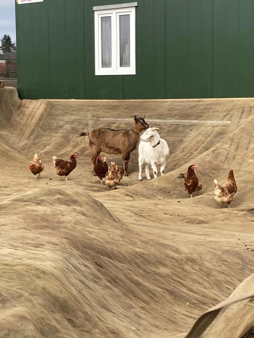 Die Ziegen gehen erstmal in ihr eigenes Revier. Sie haben sich als Protestler erwiesen und das Netz mal ganz schnell auf den Boden geholt. Die Arbeit von 3 Stunden innerhalb von 20 Minuten zunichte gemacht. .