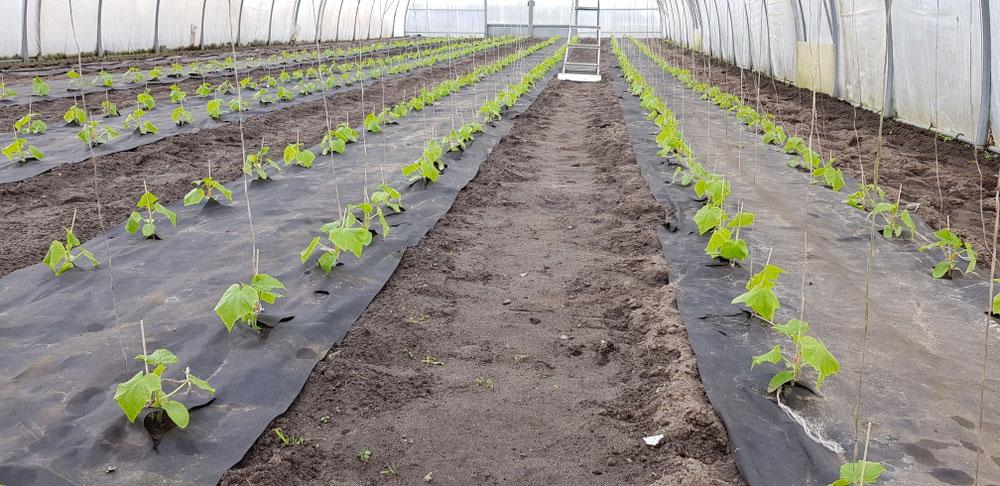 Unsere leckeren Salat- und Minigurken sind gepflanzt.