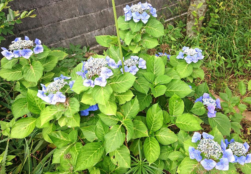 この種類の紫陽花もかわいい♥️