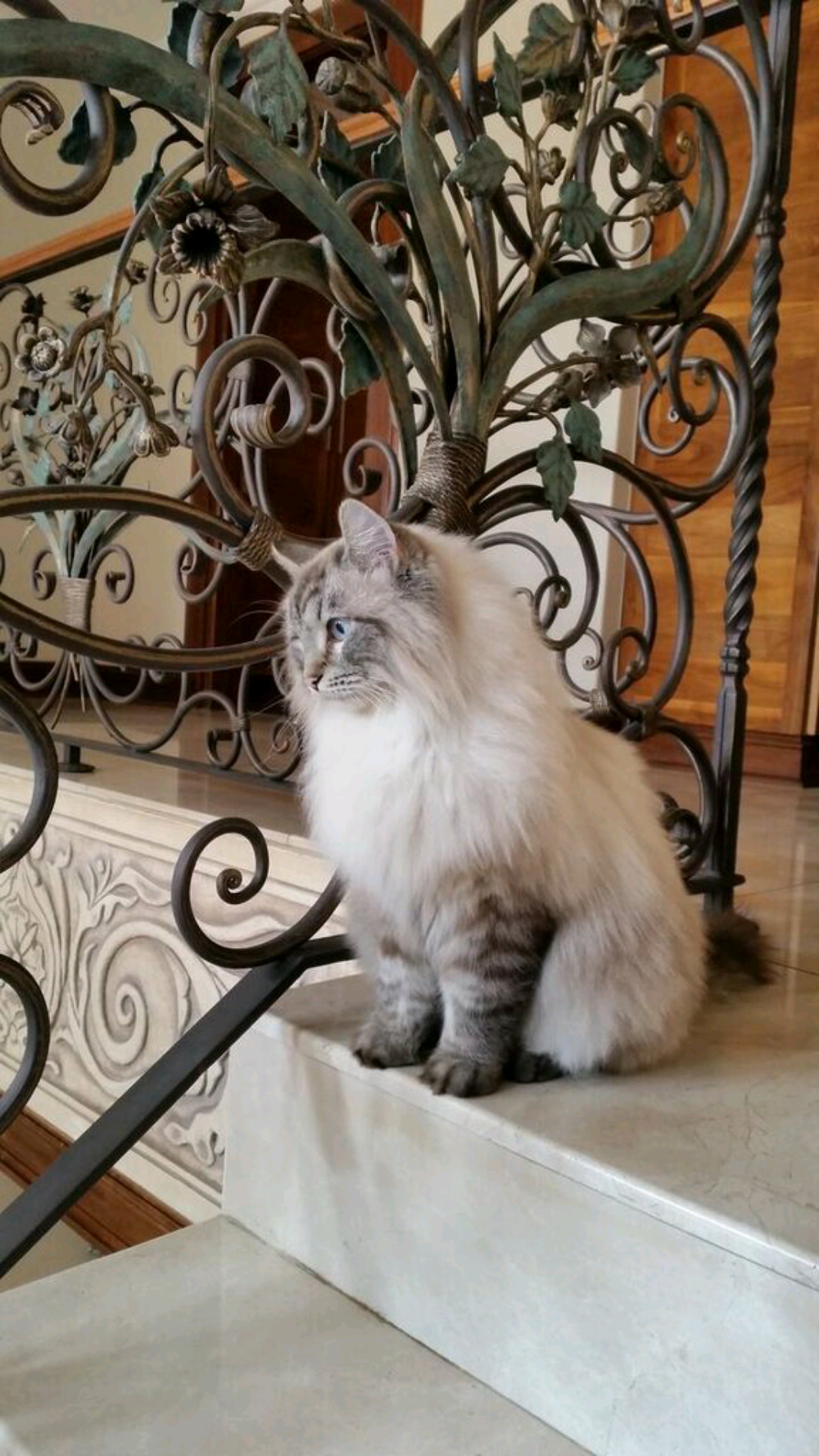 Our beloved cat Cobalt, the inspiration for our cattery. Once you know the love of a Siberian cat you will find that you cannot live without them!