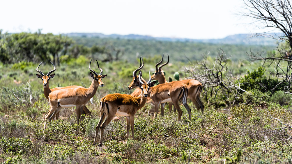 Herd of Impala at Fort Governors Estate, Eastern Cape, South Africa