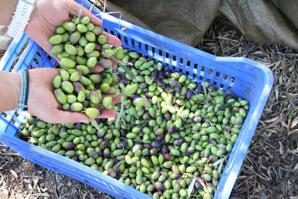 Oliven in einer blauen Kiste