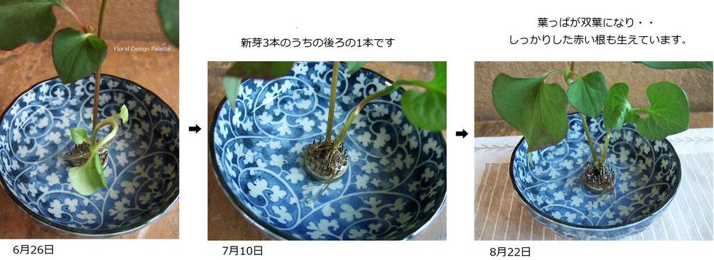 小さな器のなかで成長しているドクダミです。(横10.5cm×高さ17cm)