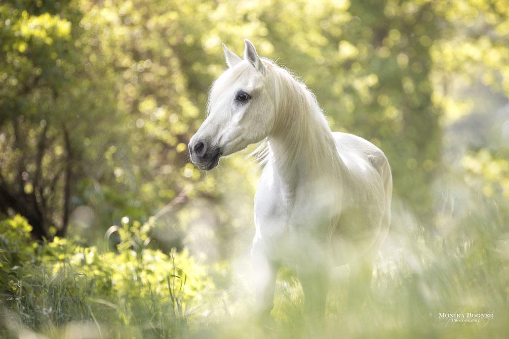 quarter horse, bay roan