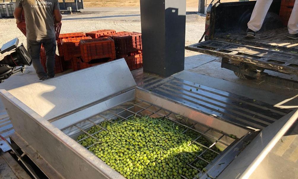 Pangaea Olivenöl –in der Olivenölmühle