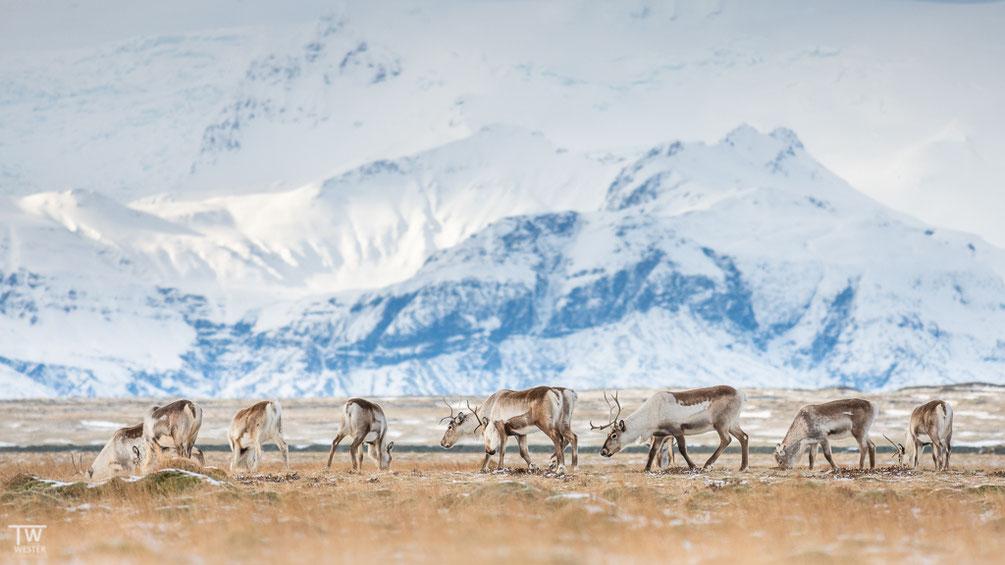 Eine unvergessliche Begegnung naher der Gletscherlagune… (B1593)