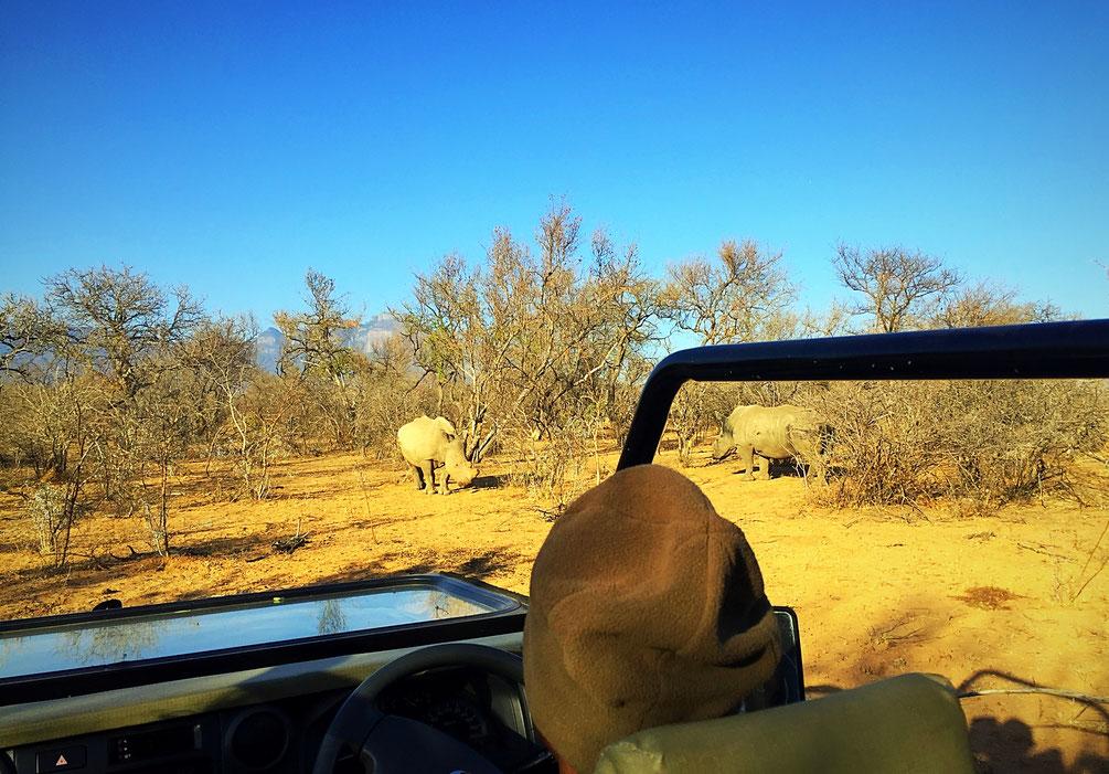 Rhinos blancs dans le bush