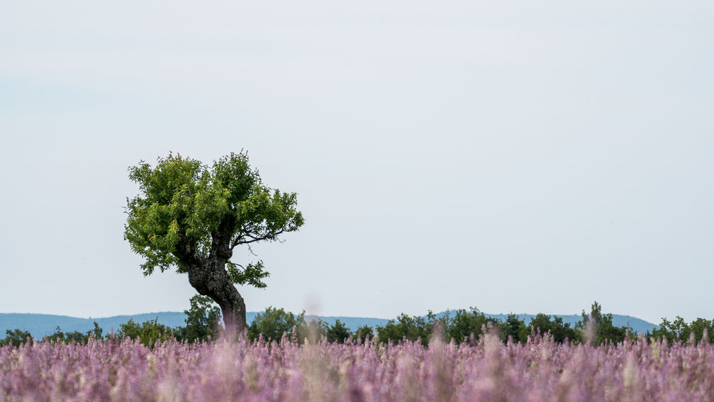A tree amongst a lavender field in Provence, France