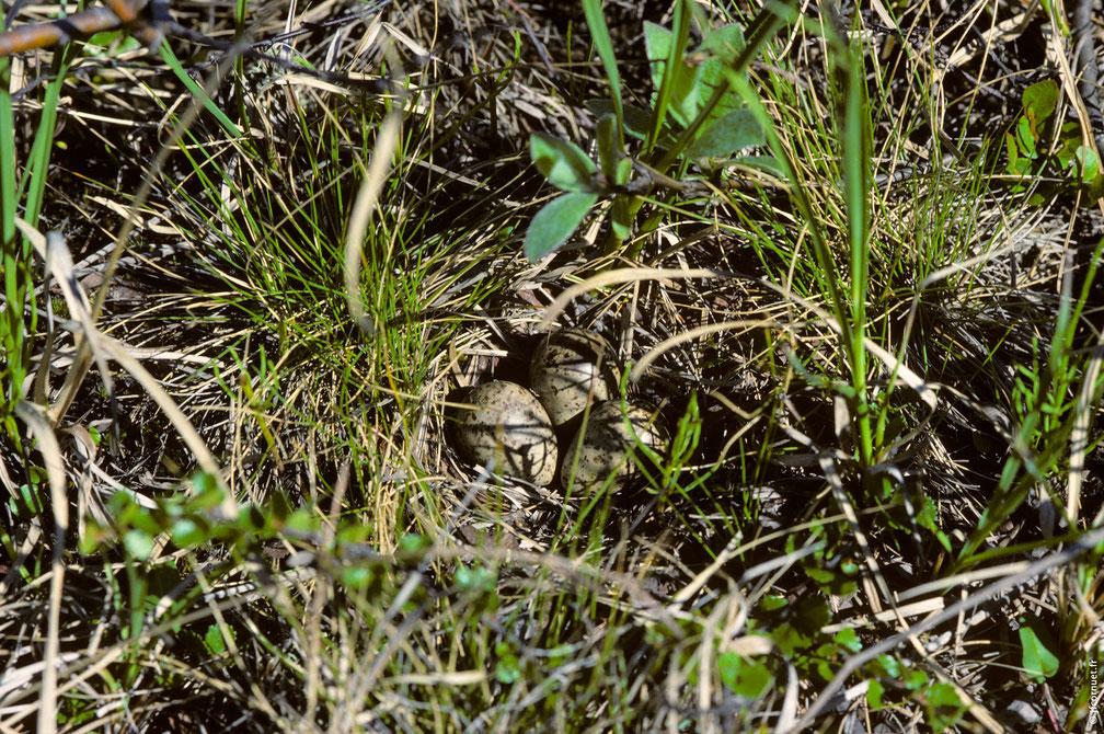 BÉCASSEAU DE TEMMINCK (nid avec 3 œufs)