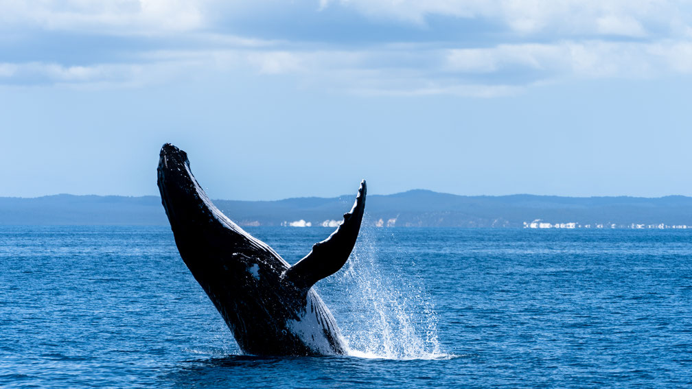 Humpback whale breaching in front of Fraser Island, Australia