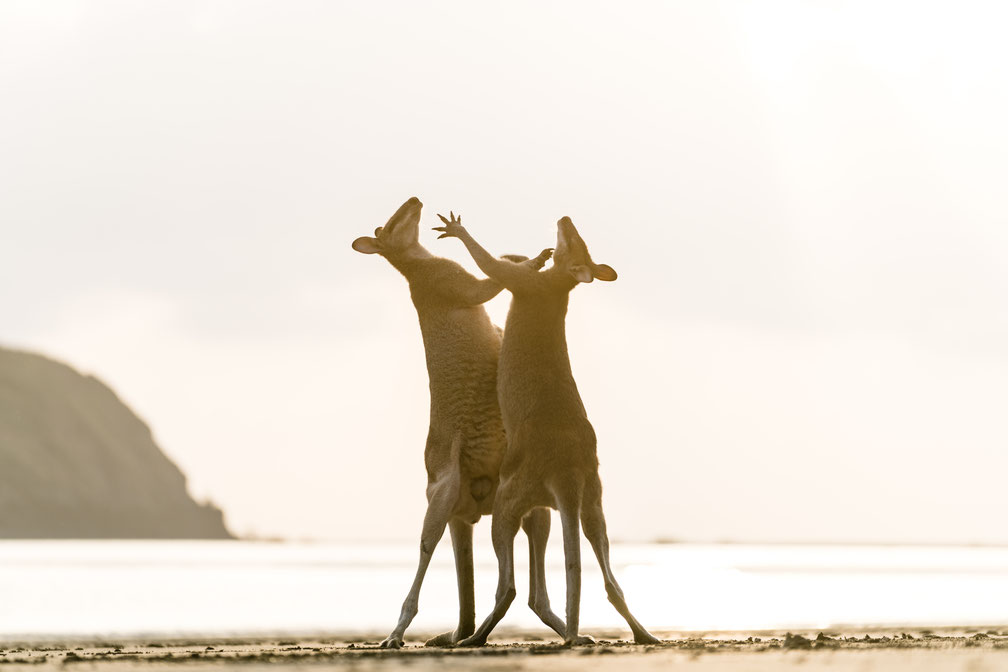 Two wallabies fighting at the beach