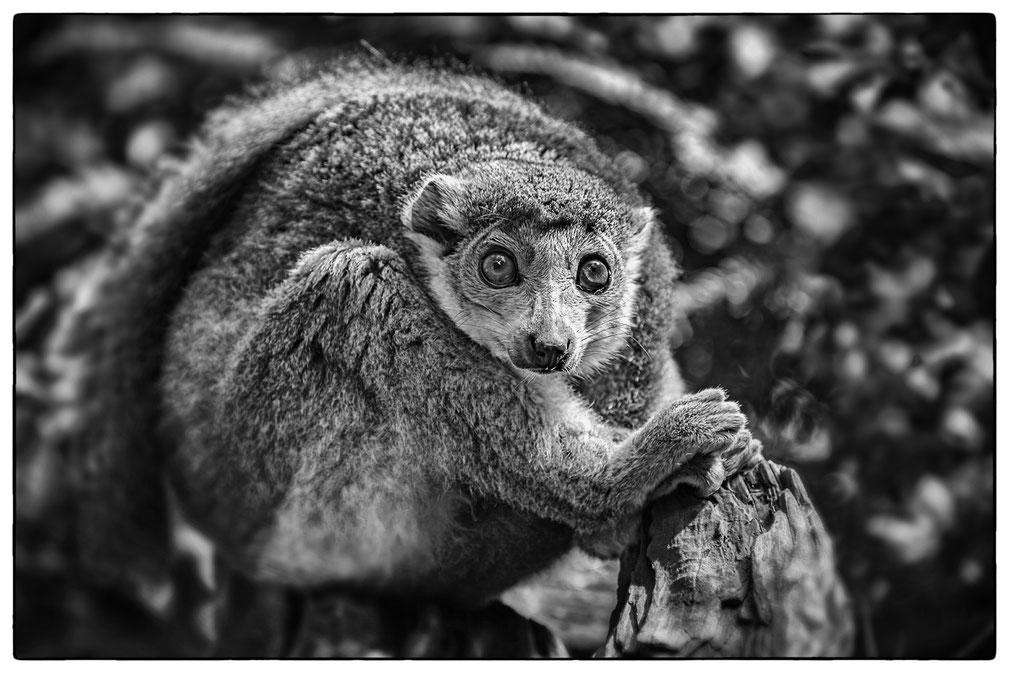 Lemuren Kronenmaki
