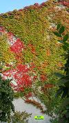 Ganze Hauswand mit Wildem Wein bewachsen erstrahlt in roter Herbstfärbung von K.D. Michaelis
