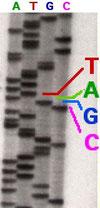 Gensequenz (Wikipedia, John Schmidt)