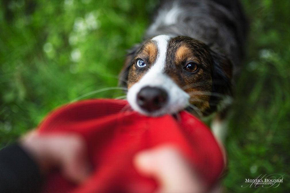 Aussie, Fotoshooting mit Hund