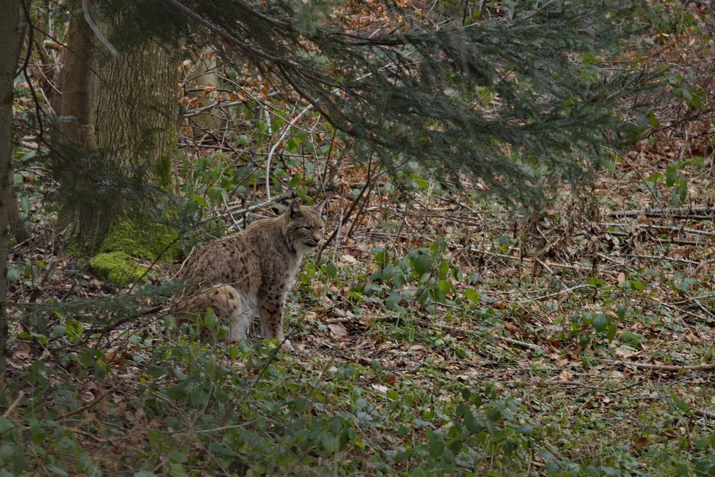 Luchs (Lynx lynx), Wildnispark Zürich Langenberg
