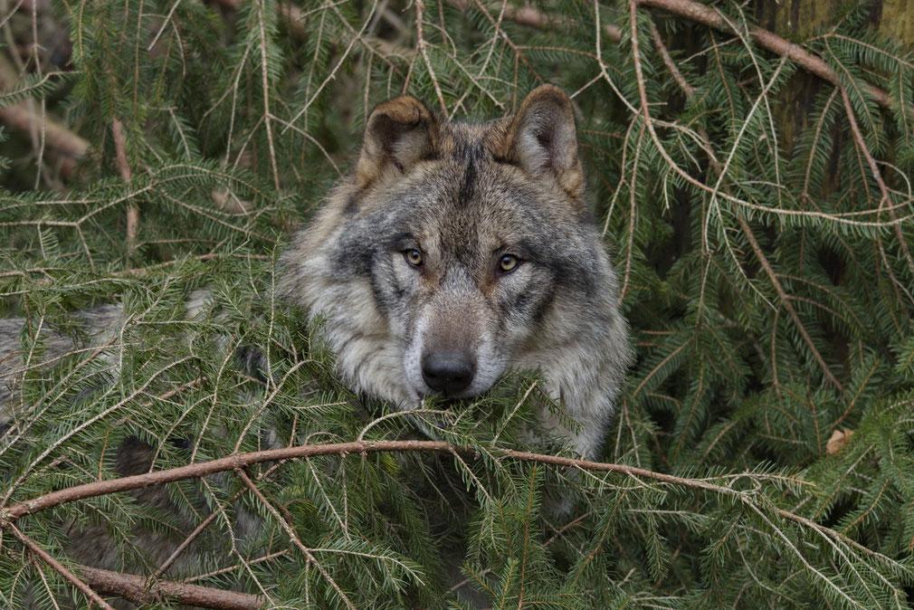 Wolf (Canis lupus), Wildnispark Zürich Langenberg