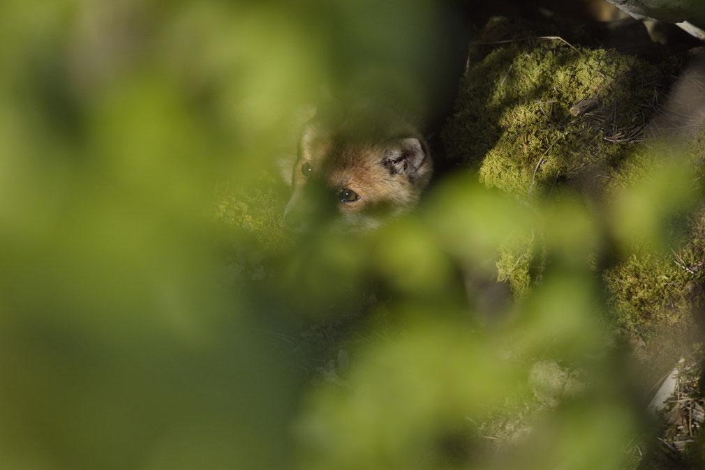 Junger Rotfuchs (Vulpes vulpes) schaut vorsichtig aus dem Bau