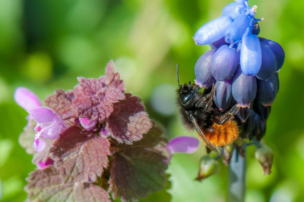 Die anspruchslose Traubenhyazinthe ist eine begehrte Nektarquelle für die ab März fliegenden gehörnten Mauerbienen, von Martin Herbst, www.garten-der-gruenspechte.de