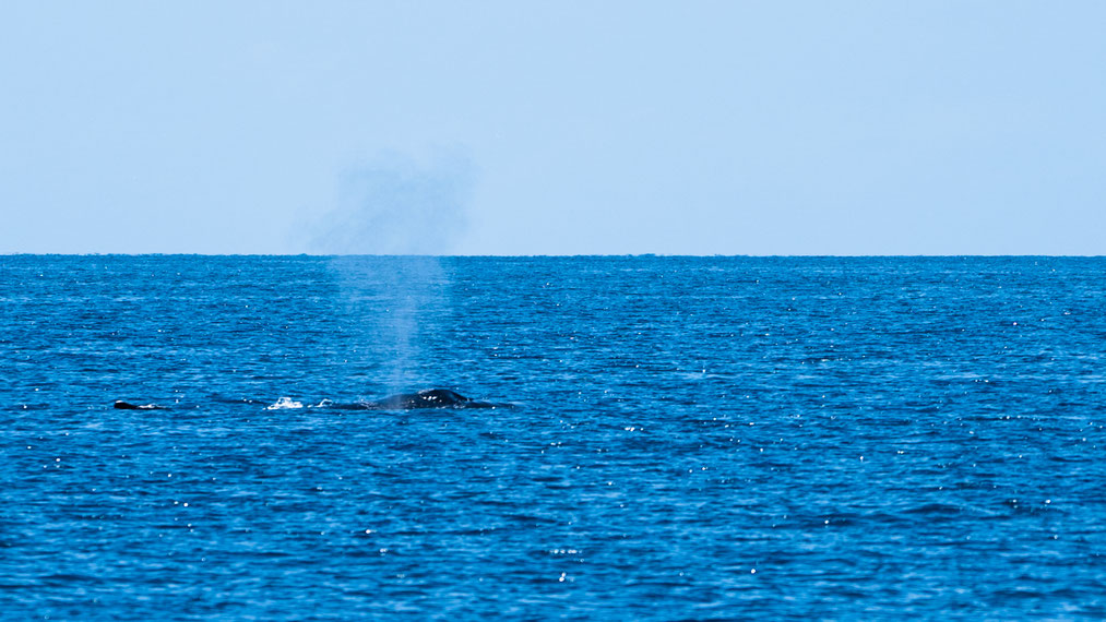 Humpback whale blowing air at Fraser Island, Australia