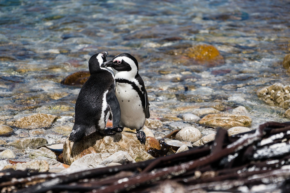 Two African penguins at Stoney Point Nature Reserve, South Africa