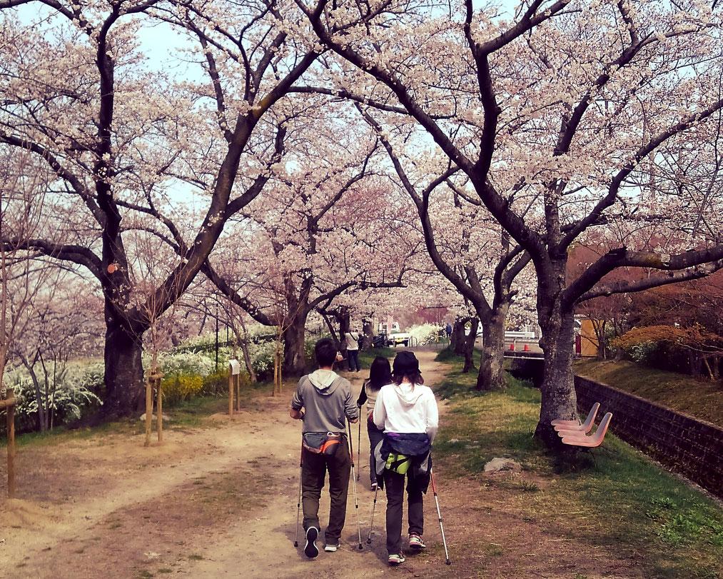 桜並木の下で歩ールウォーク会