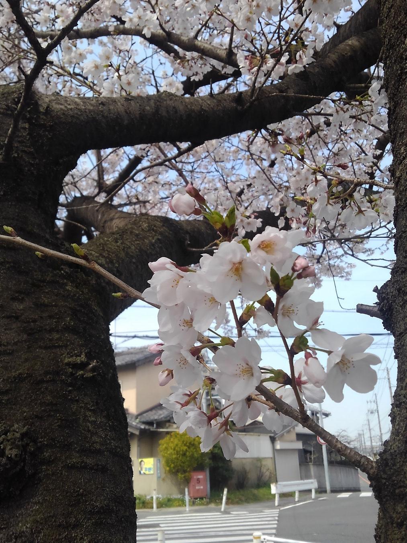 麓の桜はほぼ満開