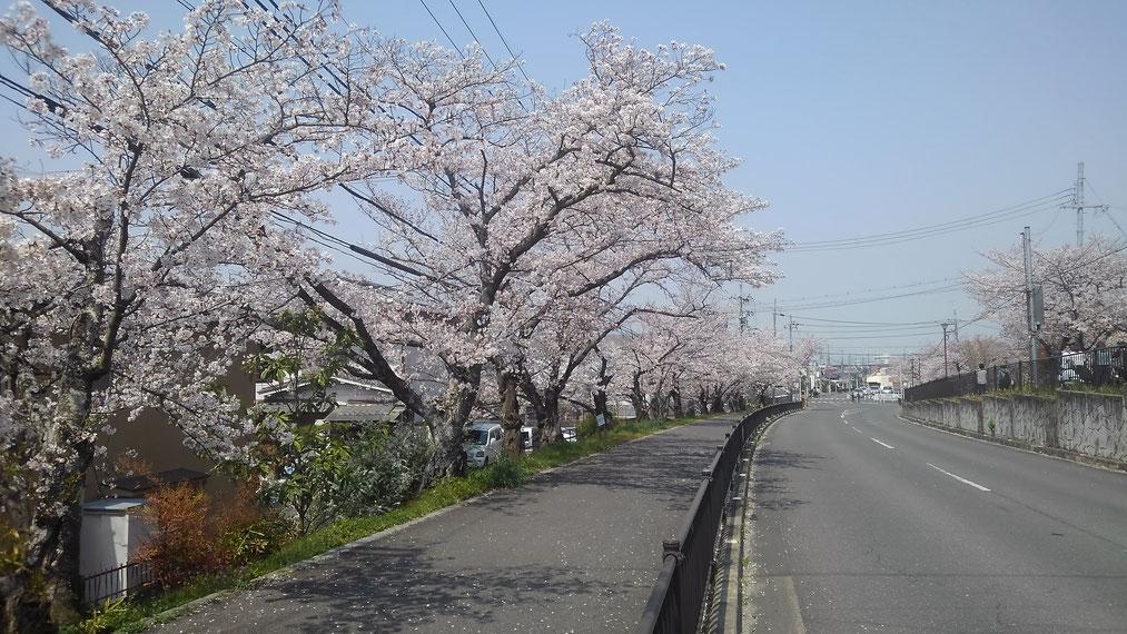 見事な桜並木です。