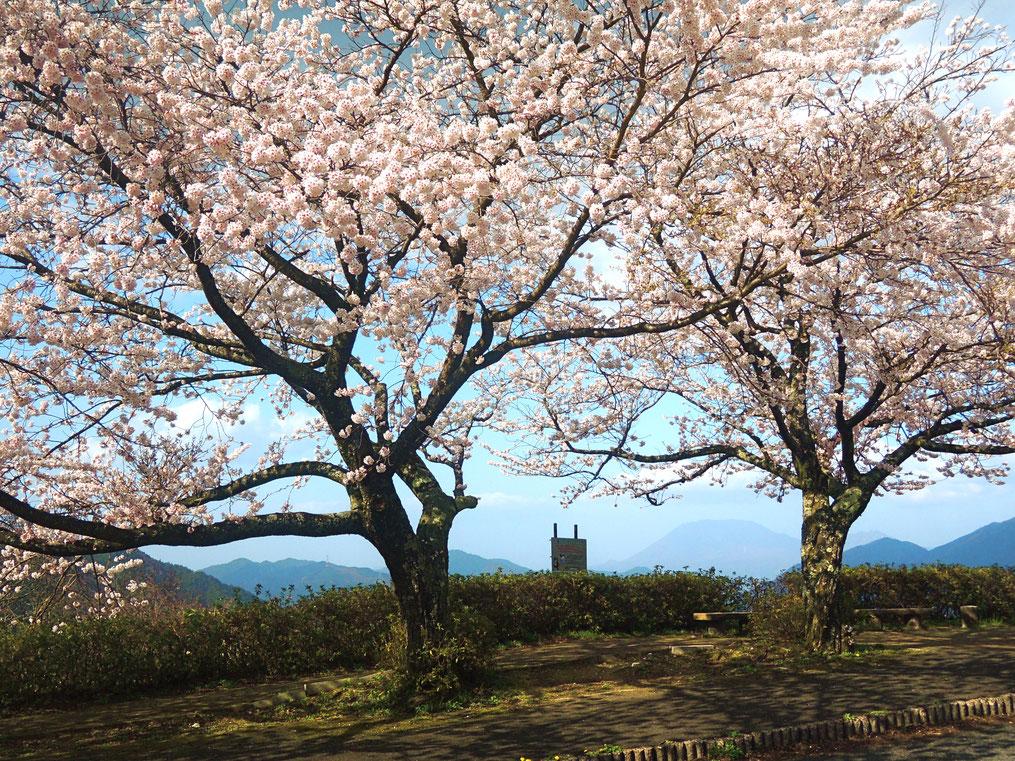 岡山県境、鳥取県側の明智峠のソメイヨシノ、早くも満開!