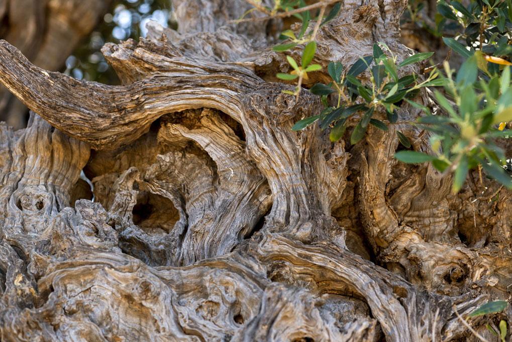 Pangaea Olivenöl aus Griechenland – Der älteste Olivenbaum auf der Welt befindet sich auf Kreta – Detailaufnahme