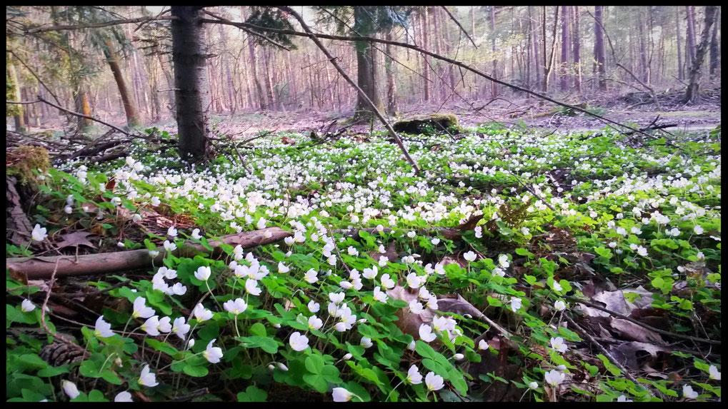 Ein Meer von Buschwindröschen kündigt den Frühling an