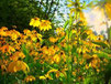Kleinwüchsige Sonnenblumen im Vordergrund