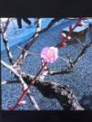 梅の花(岡崎天満宮)