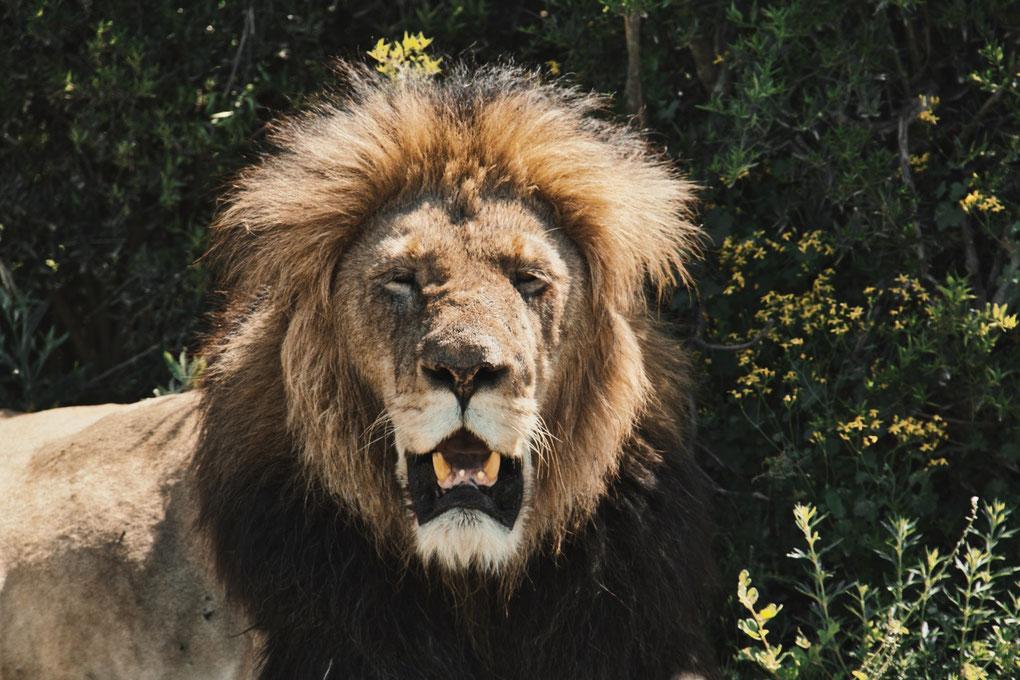 Entspannter Löwe zeigt seine Zähne im halbschlaf