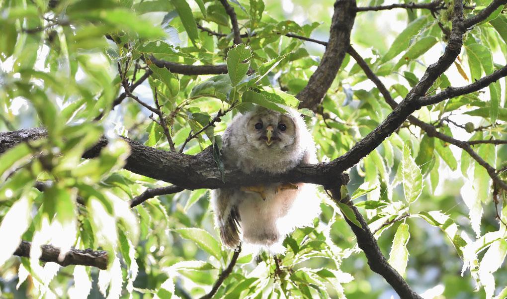 フクロウ 雛(巣立ち1番)