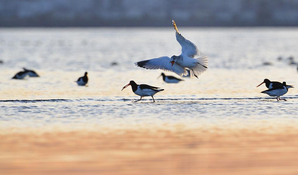 ミヤコドリ カモメ(common gull)