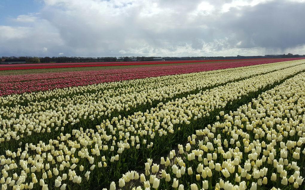 Les champs de tulipes de Emmeloord aux Pays Bas