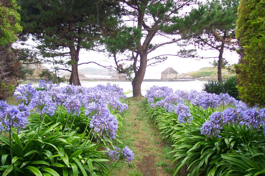 Jardin d'Agapanthe sur l'île de Bréhat