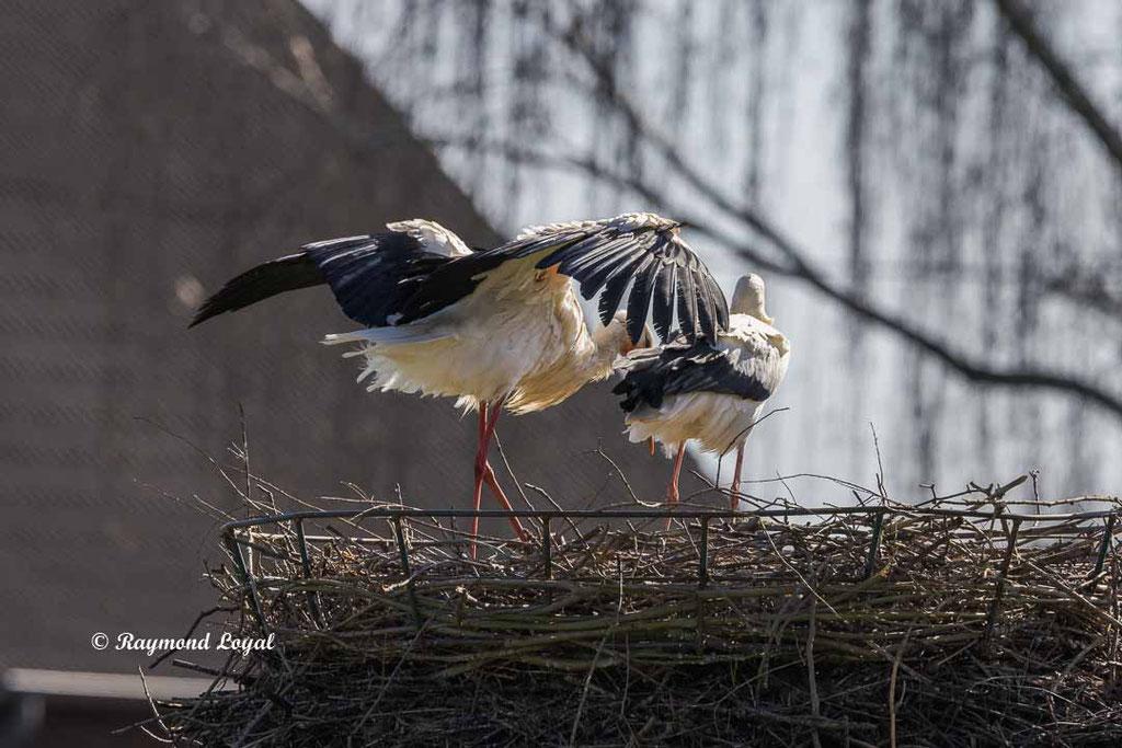 weissstorch auf dem nest