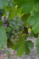 vignes de sauvignon du Domaine des Renardières