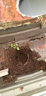軒樋の中に泥などが詰まっている