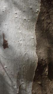 Eucalyptus, Κορώνη, Péloponnése