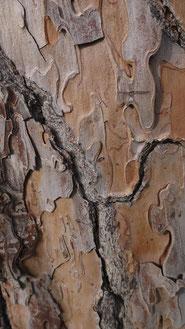Pinus Pinea, Ile Tibérine, Rome