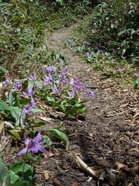 ▲登山道両側に咲き乱れるカタクリ