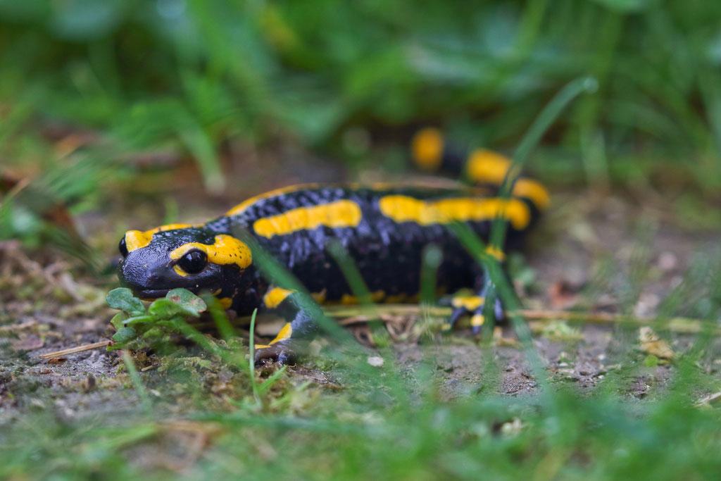Feuersalamander (Salamandra salamandra), Nationalpark Kellerwald