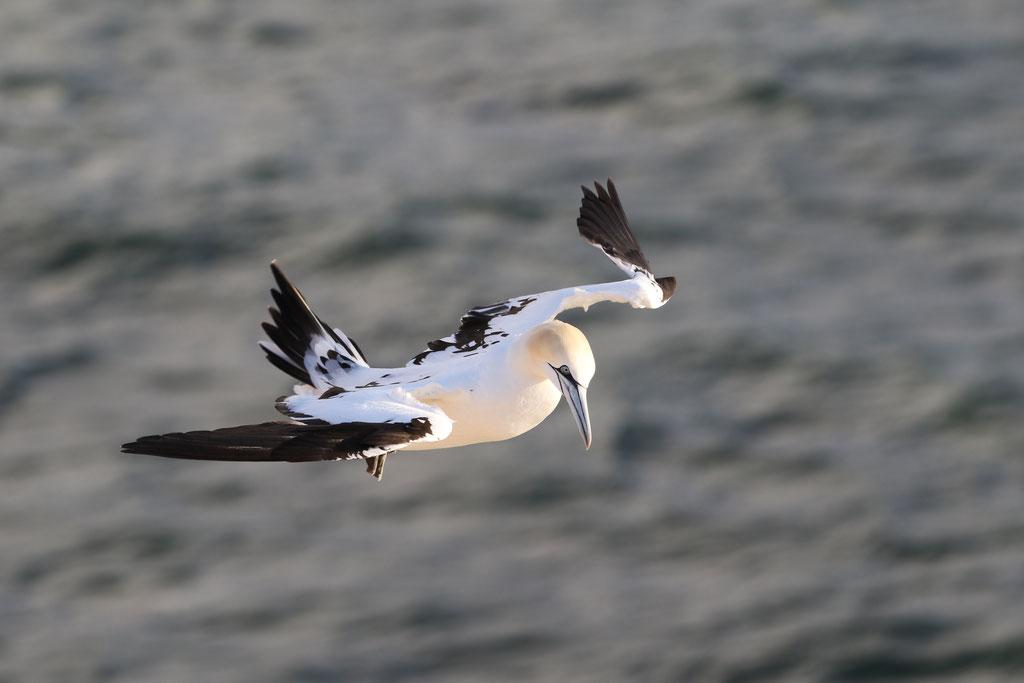 Basstölpel (Morus bassanus), Helgoland