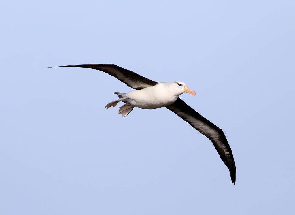 Schwarzbrauenalbatros, Helgoland