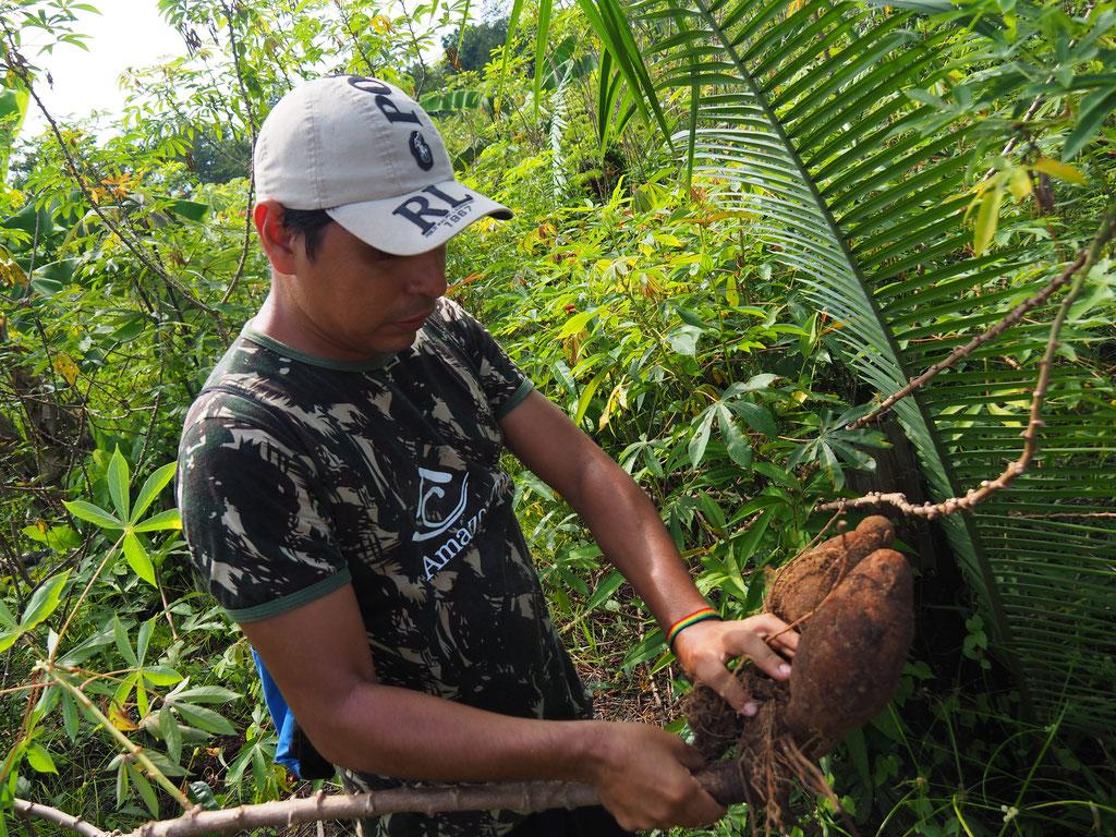 Maniokwurzeln bei der indigenen Familie