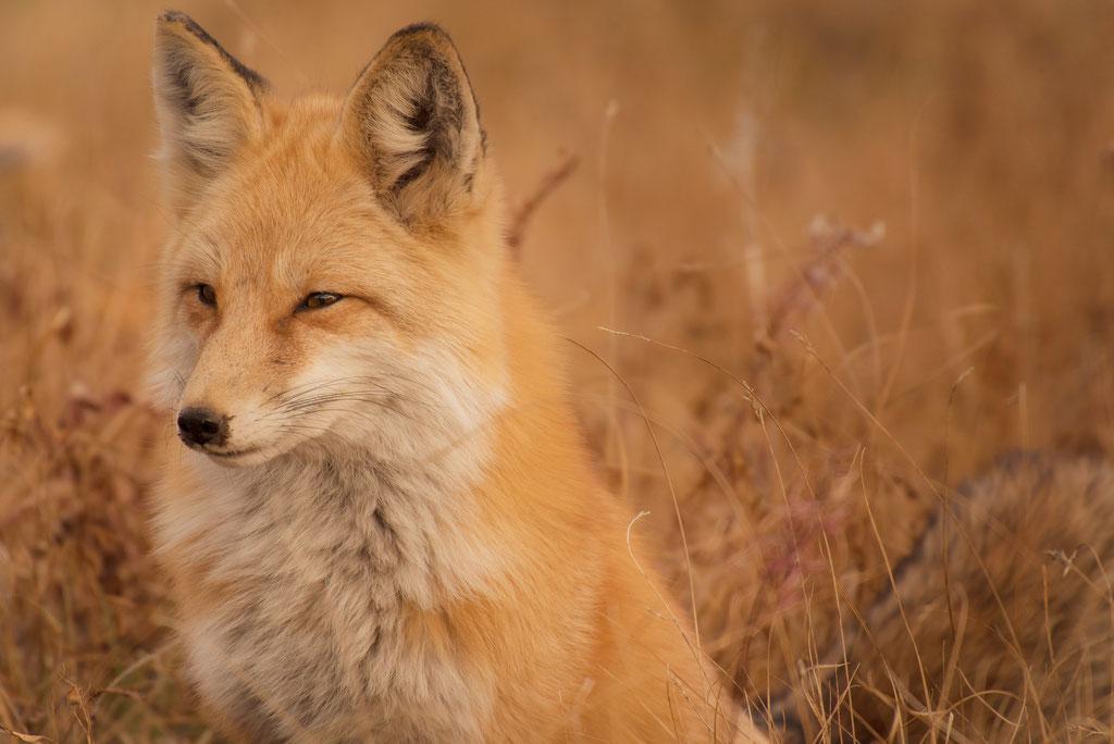 Der Fuchs - unser Symbol