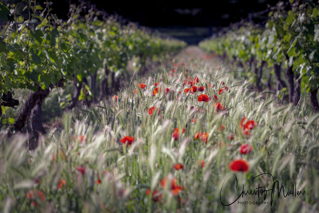 Poppy Flowers in a Vineyard (Provence)